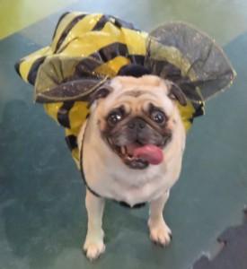 cute bee pug