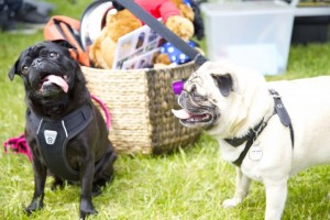 Fishstick the Pug and Miss Edie the Pug at Woofstock
