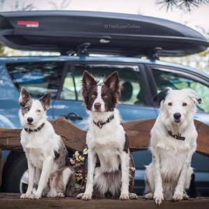 Sara and The Super Collies Hit The Road Again, sitting with their car.