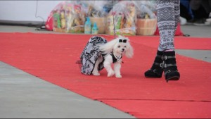 Charmin in the Ruff Stitched Fashion Show at Woofstock