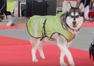 Husky in raincoat at ruff stitched fashion show woofstock 2017