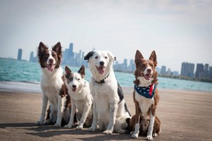 The Super Collies and Sweet Sundance by the lake in Chicago