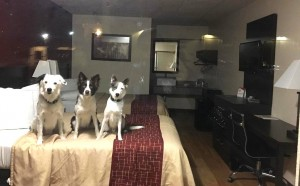 The Super Collies at Red Roof Inn