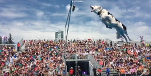 Hero the super collie makes an incredible jump at the Calgary Stampede