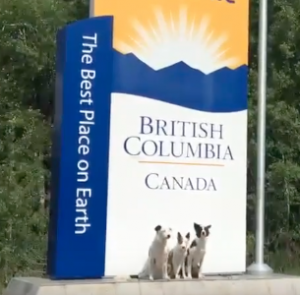 Super Collies in British Columbia