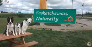 Super Collies in Saskatchewan