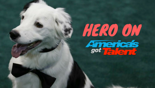 The Super Collies set to Wow on the America's Got Talent Finals